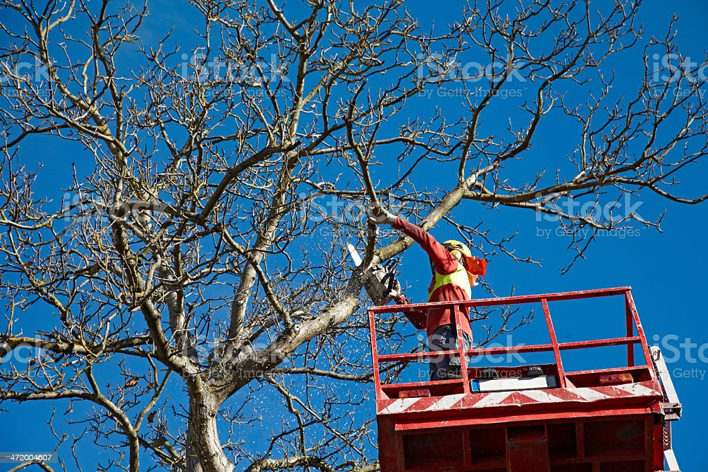 Man is felling a big tree stock photo