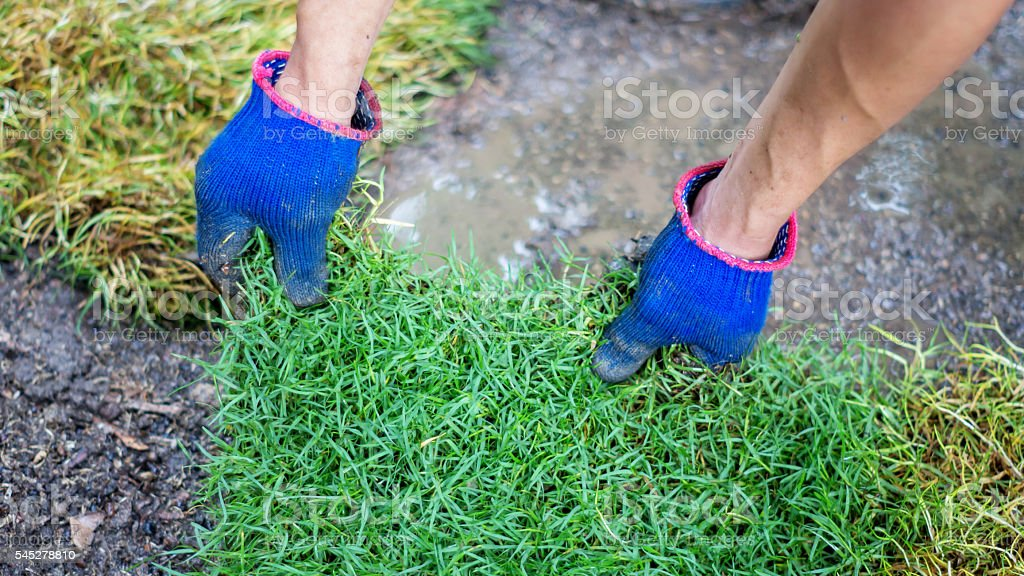 Man is planting green grass. stock photo