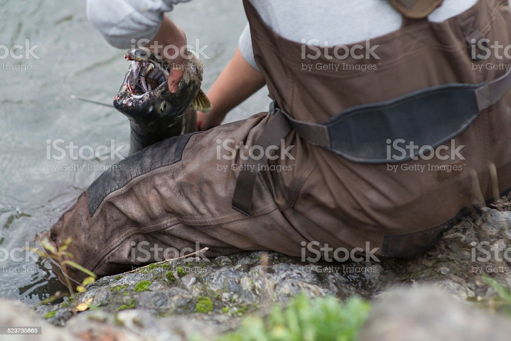 Man lands salmon at riverbank stock photo