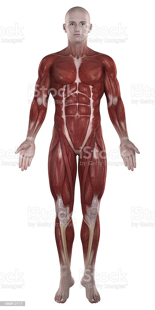 Man muscles anatomy isolated  anterior view stock photo