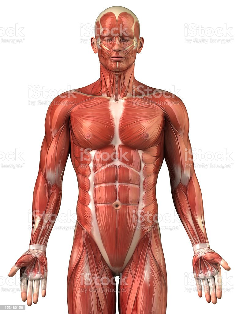 Man muscular system anatomy anterior view stock photo