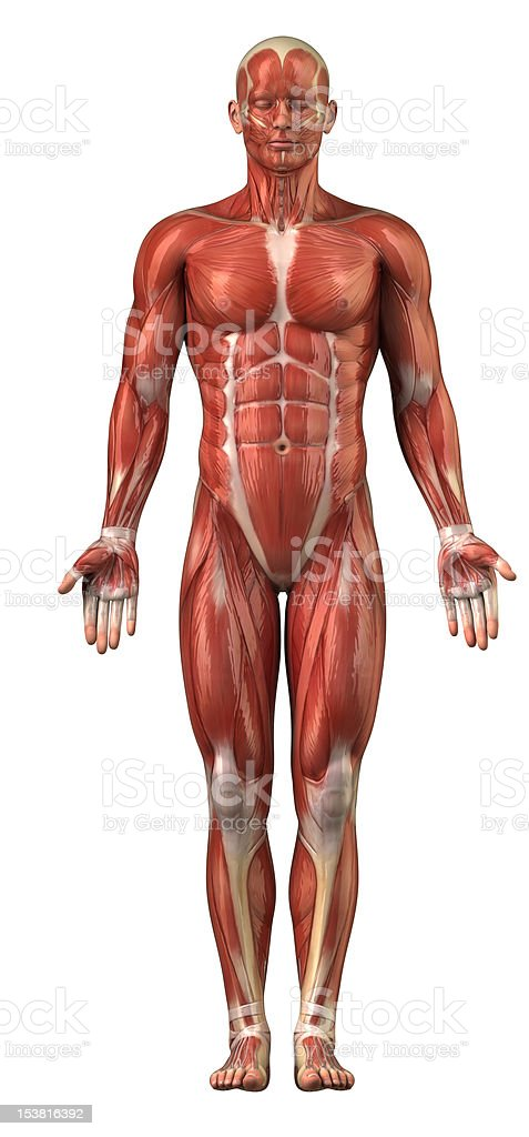 Man muscular system anterior view isolated stock photo