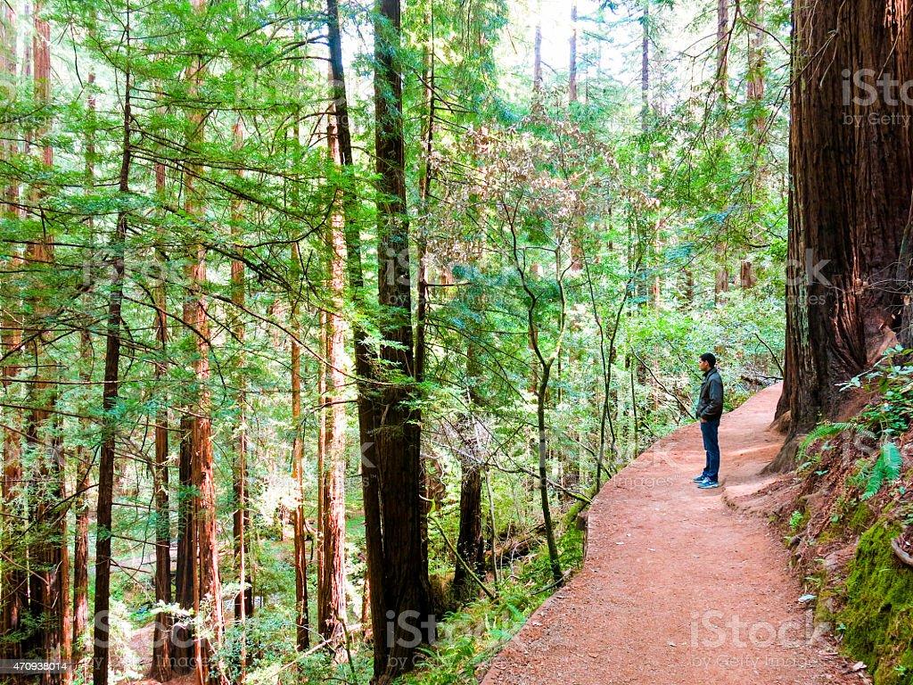 Man Observes Redwood Trees - Muir Woods, California stock photo
