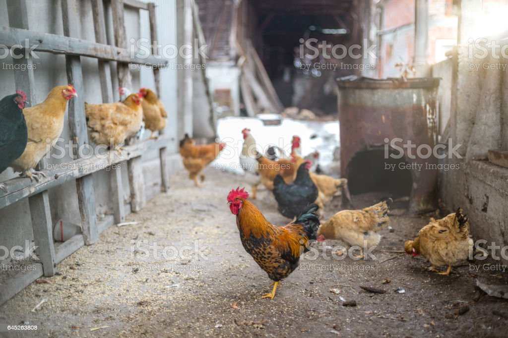 Man of the house - Rooster standing in chicken hay like a boss stock photo