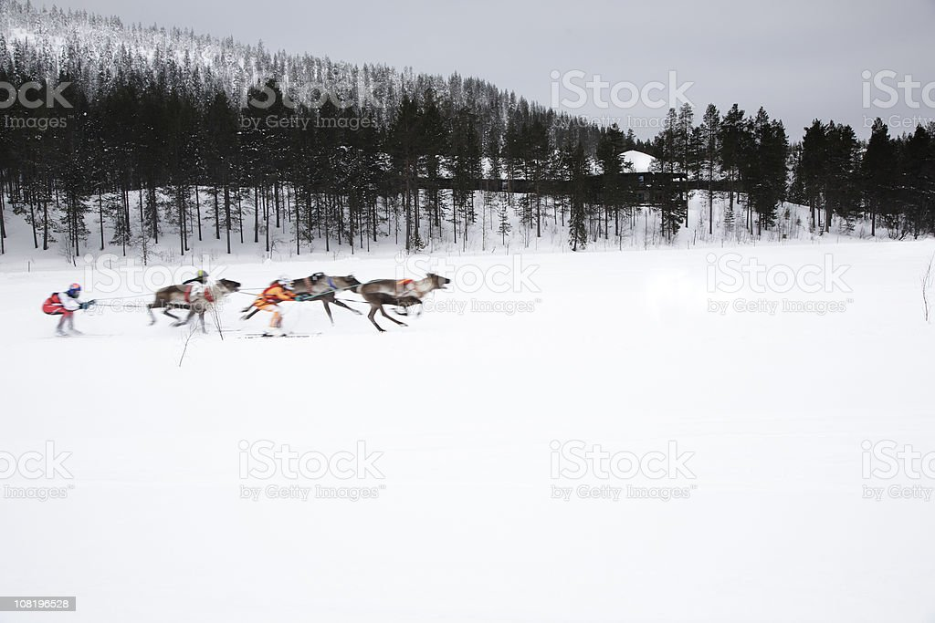 Man on Skis Being Towed by Reindeer: Traditional Lappish Sport stock photo