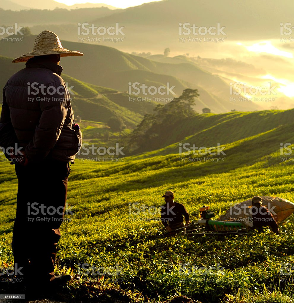 Man overseeing work at a tea plantation royalty-free stock photo