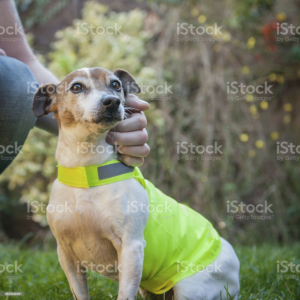 Man petting a therapy dog. royalty-free stock photo