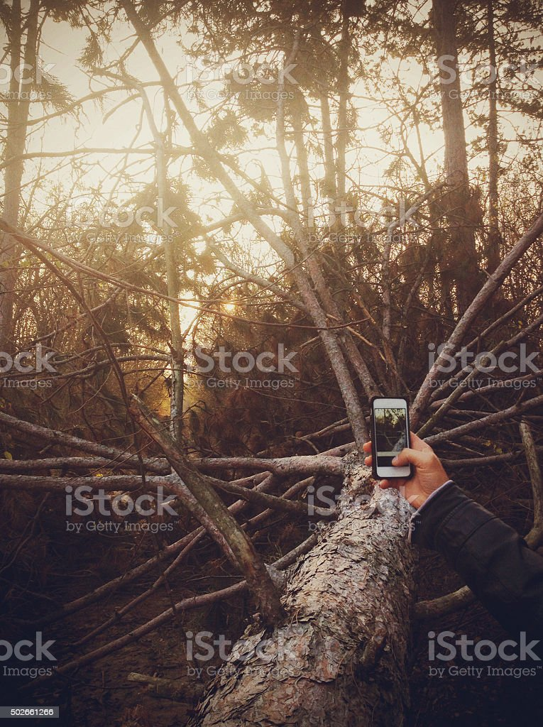 Man photographing fallen pine tree in the forest stock photo
