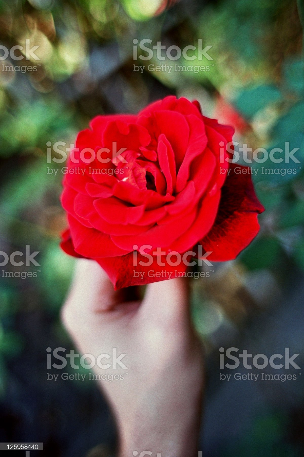 Man Picking a Red-Kardinal Rose royalty-free stock photo
