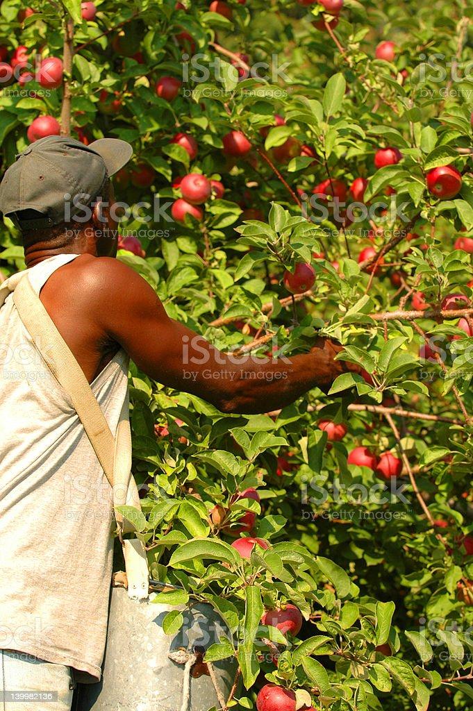 Man picking apples stock photo