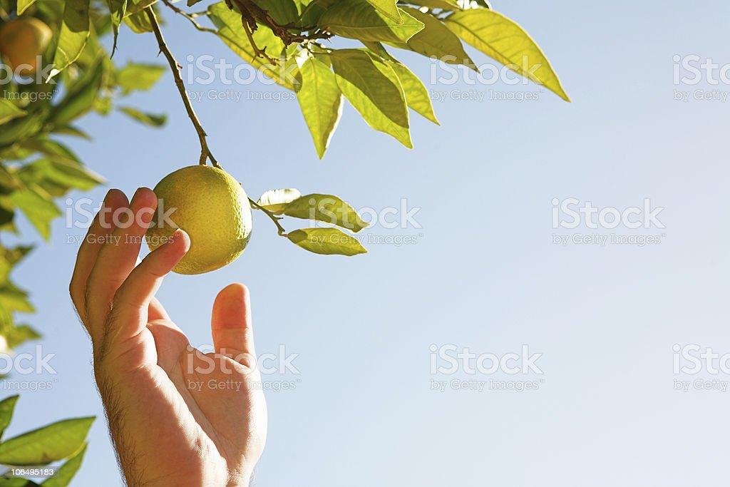 Man picking lemons royalty-free stock photo