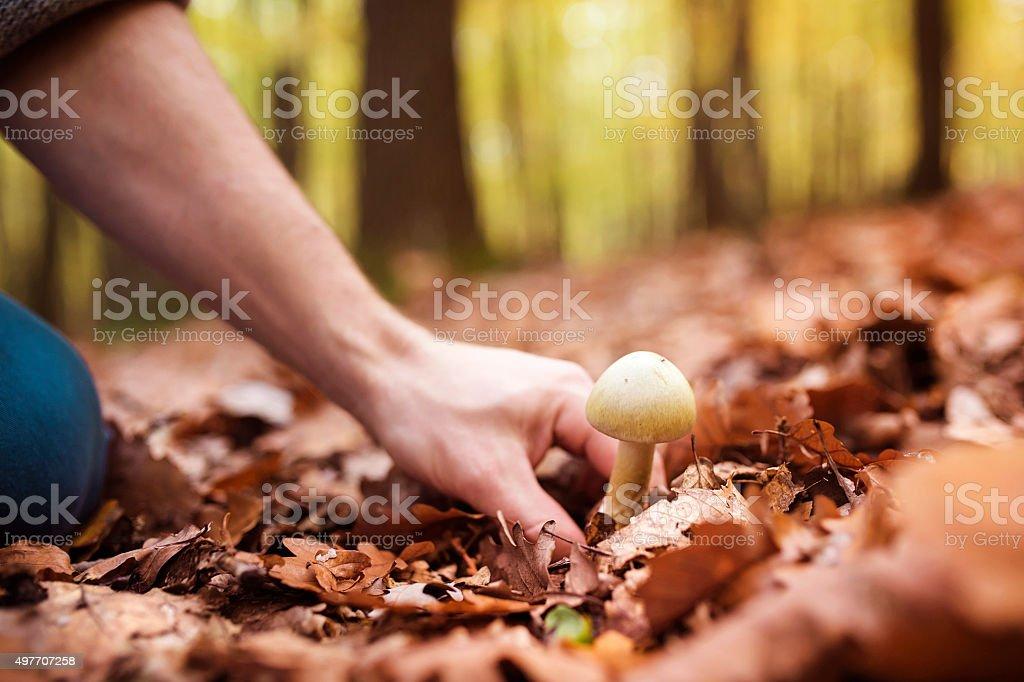 Man picking mushrooms stock photo