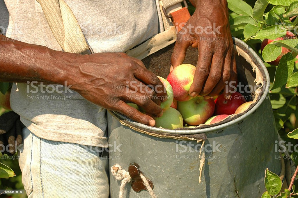 A man placing apples in a bucket after picking stock photo