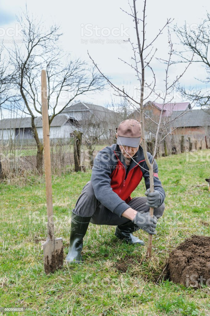 Man planting a tree. stock photo