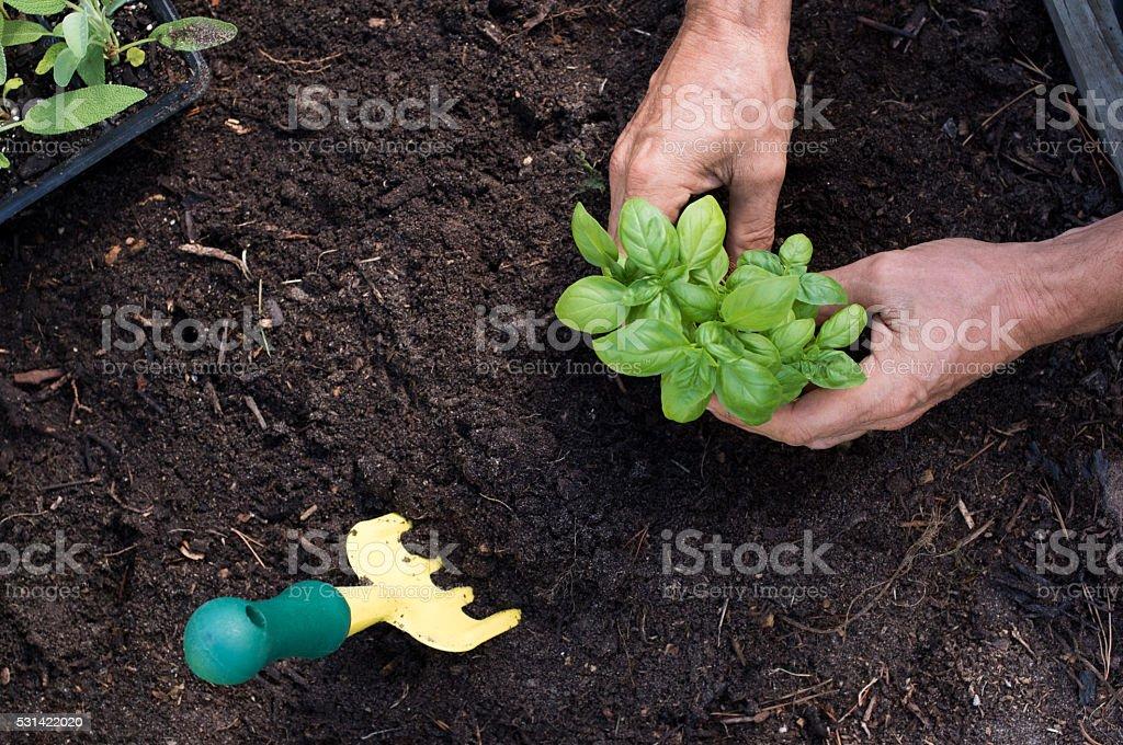 Man planting basil stock photo
