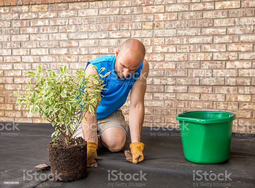 Man Planting Dogwood Shrub in Front of House stock photo