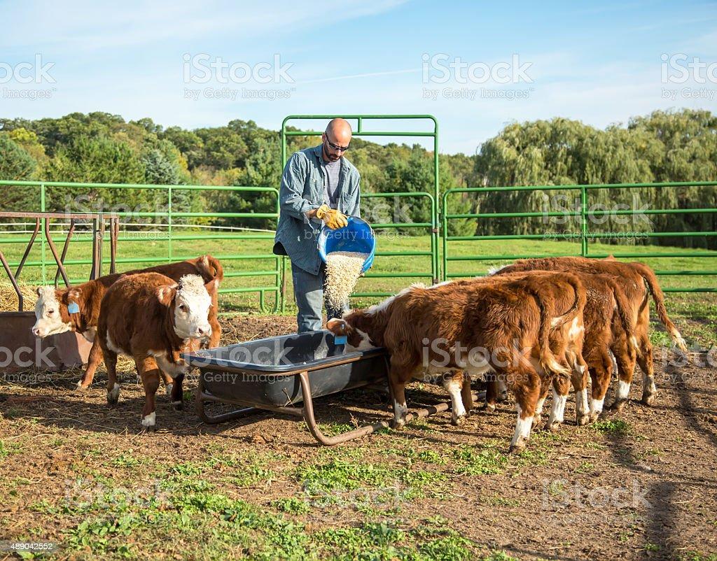 Man Pouring Corn Into Feed Bunk For Calves stock photo