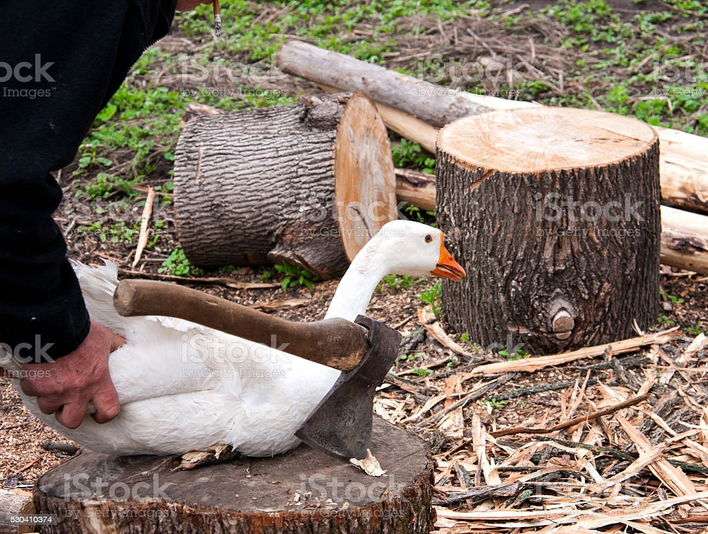 man preparing to cut the goose head with an ax stock photo