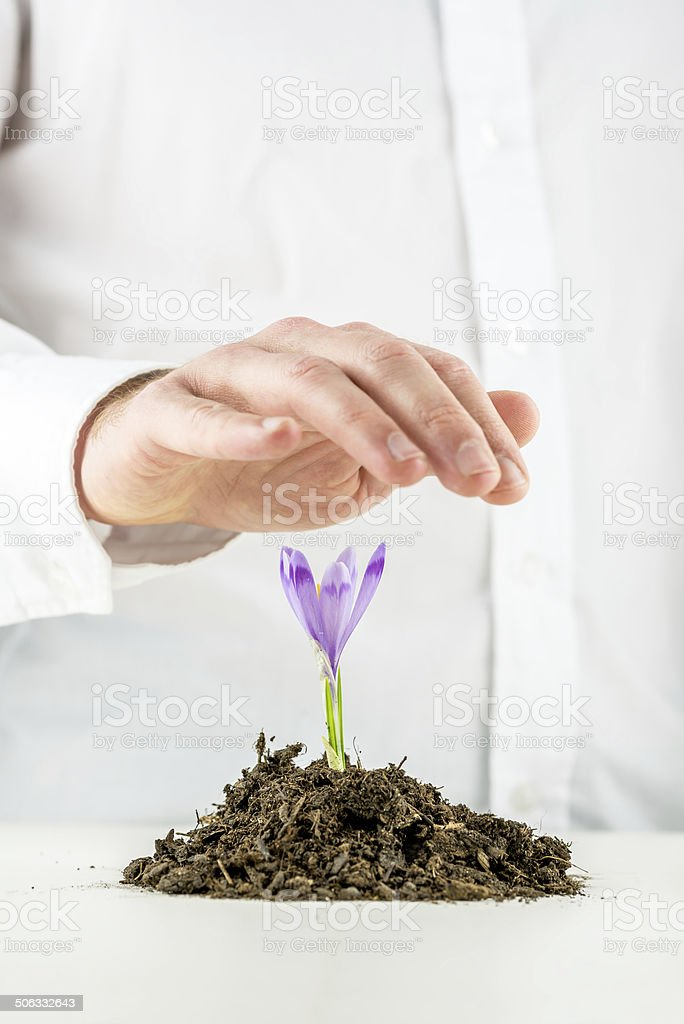 Man protecting a flowering spring freesia royalty-free stock photo