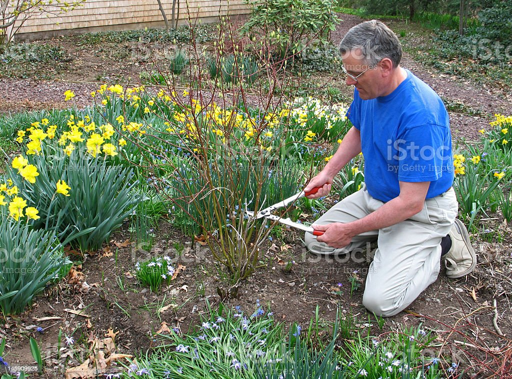 Man pruning red twig dogwood royalty-free stock photo