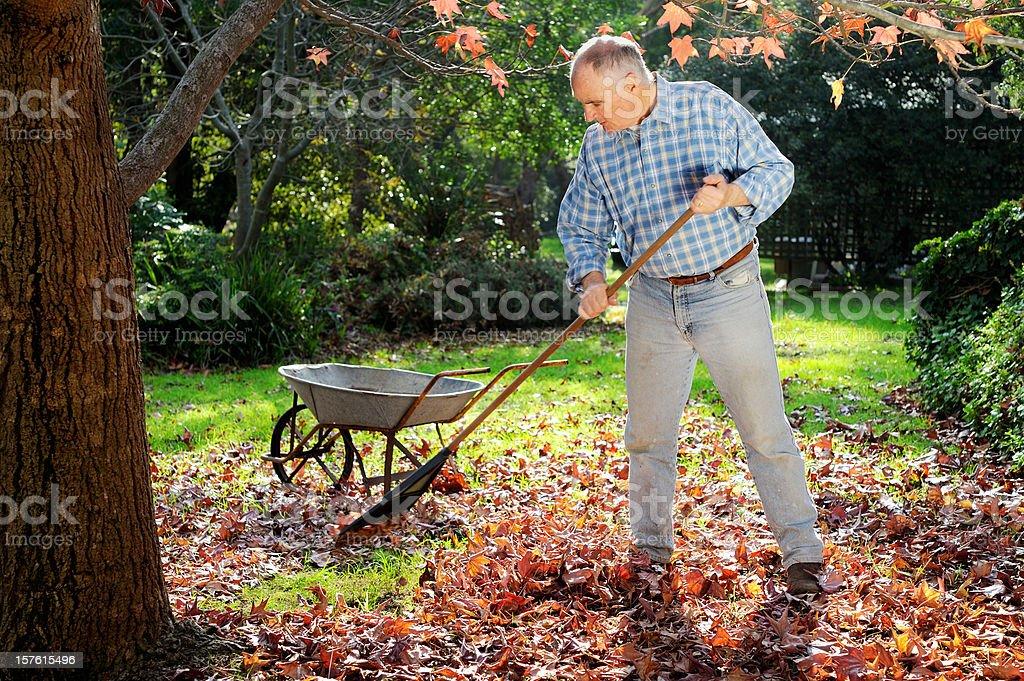 Man Raking Leaves in Garden royalty-free stock photo