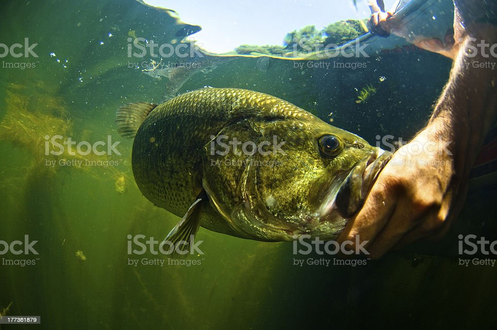Man reaches into water and touches large mouth bass fish royalty-free stock photo