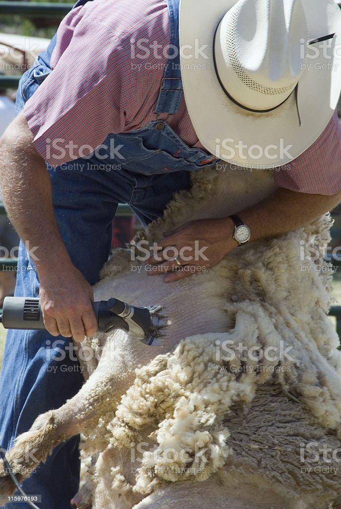 A man shearing a sheep on a farm stock photo