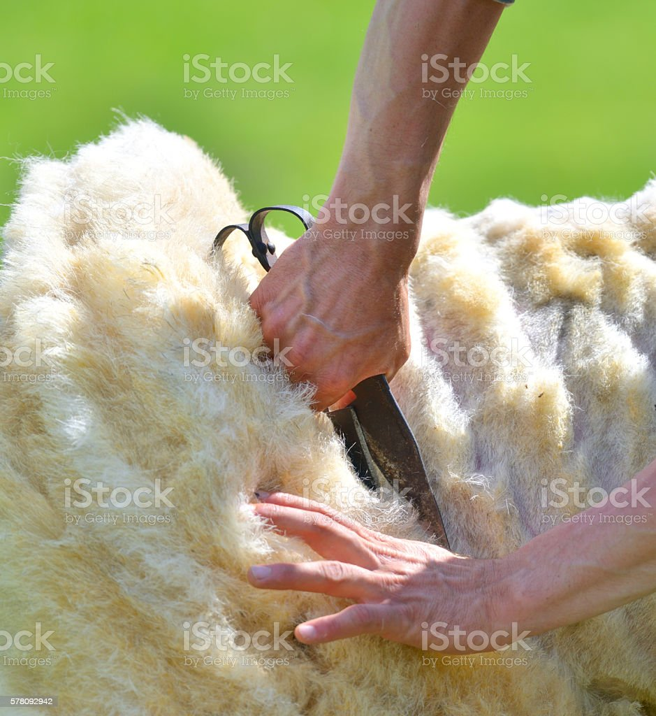 man skillfully shears wool from a sheep stock photo