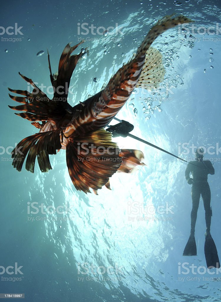man spearfishing lionfish stock photo