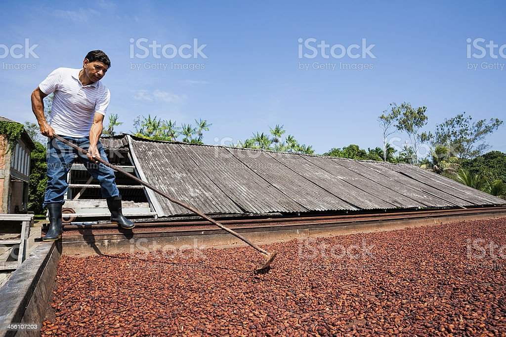 Man spreading cocoa beans to dry stock photo
