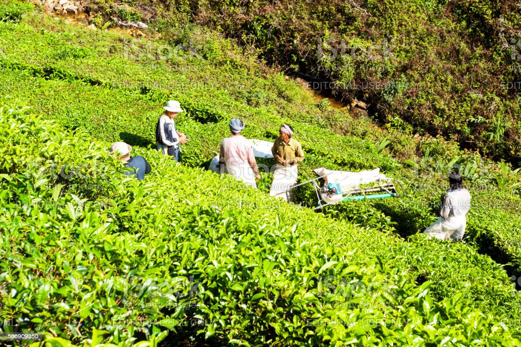 Man talking to tea pickers stock photo