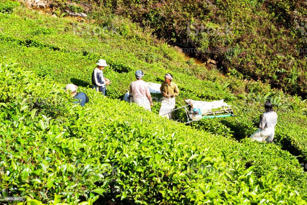 Man talking to tea pickers stock photo