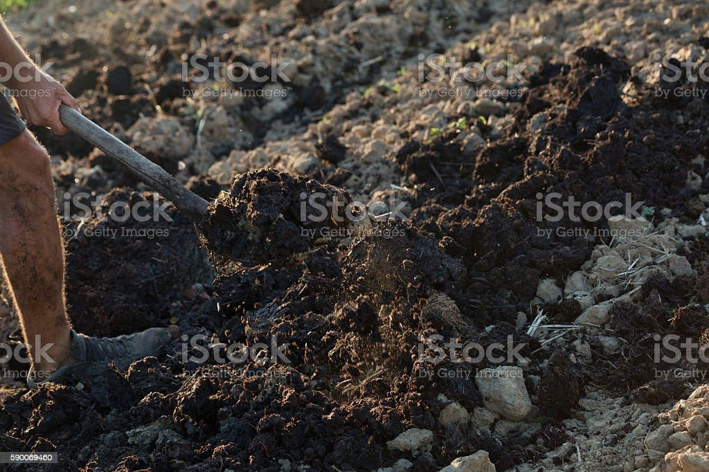 Man throws manure stock photo