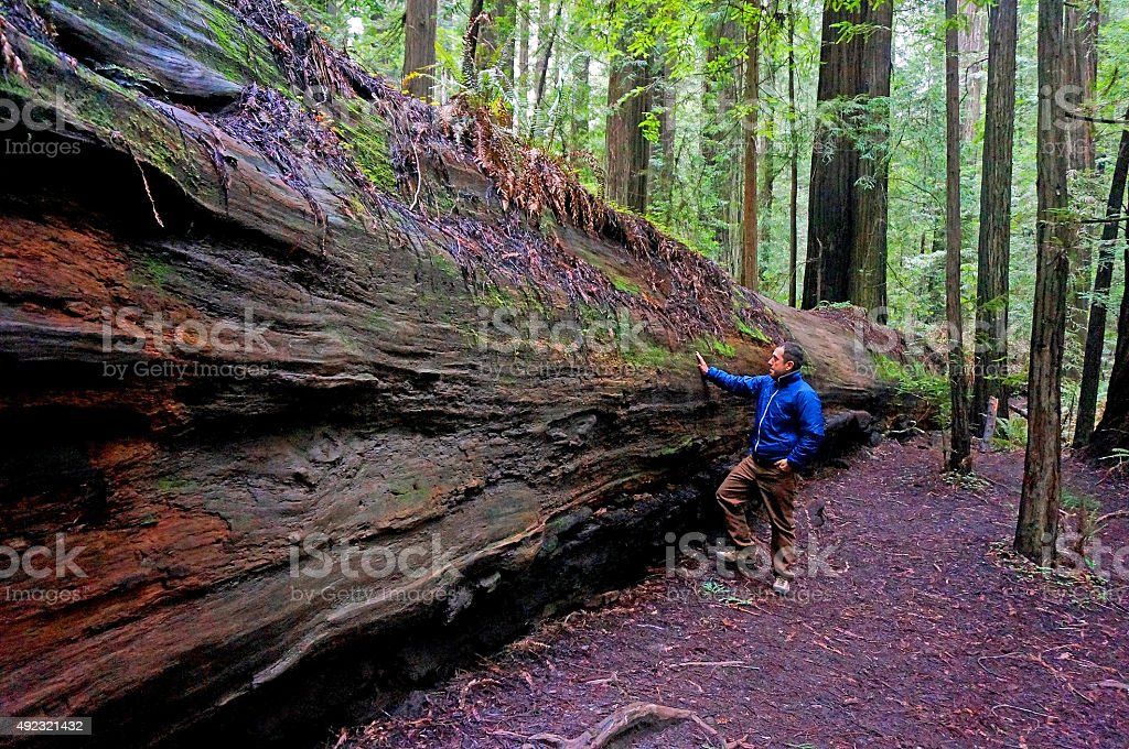 Man touching and feeling sorry for the fallen giant tree stock photo