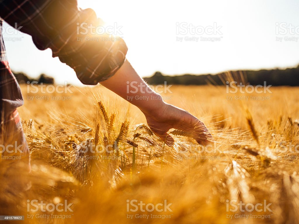 Man touching golden heads of wheat while walking through field stock photo