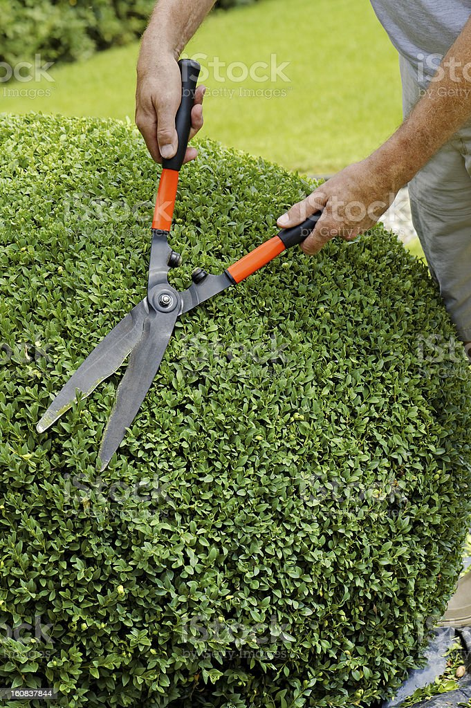 Man trimming boxwood ball with hedge clippers in round shape stock photo