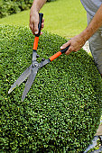 Man trimming boxwood ball with hedge clippers in round shape