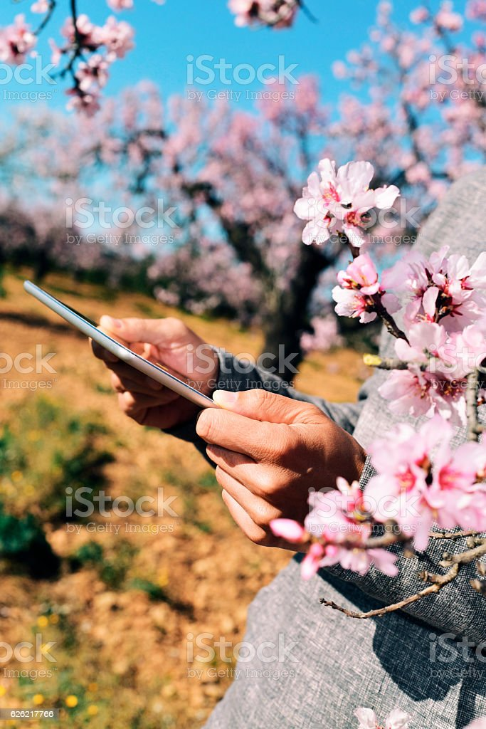 man using a tablet in a grove of almond trees stock photo