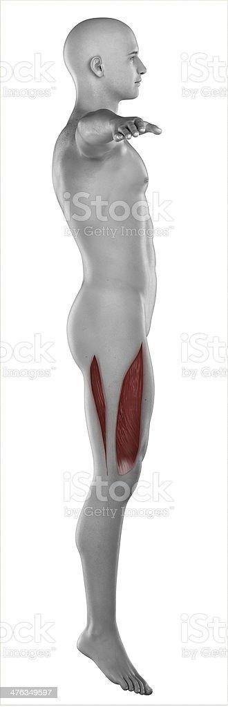 Man VASTUS LATERALIS anatomy isolated stock photo