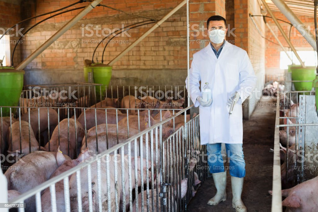Man veterinarian in mask in sty with pigs stock photo