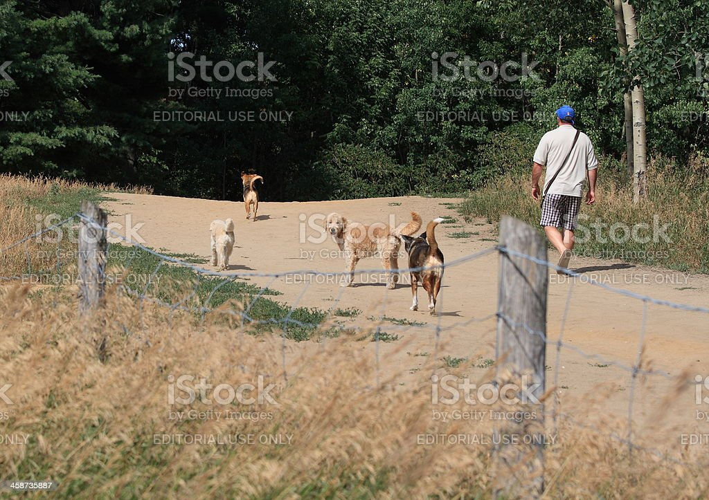 Man Walking with Four Dogs royalty-free stock photo