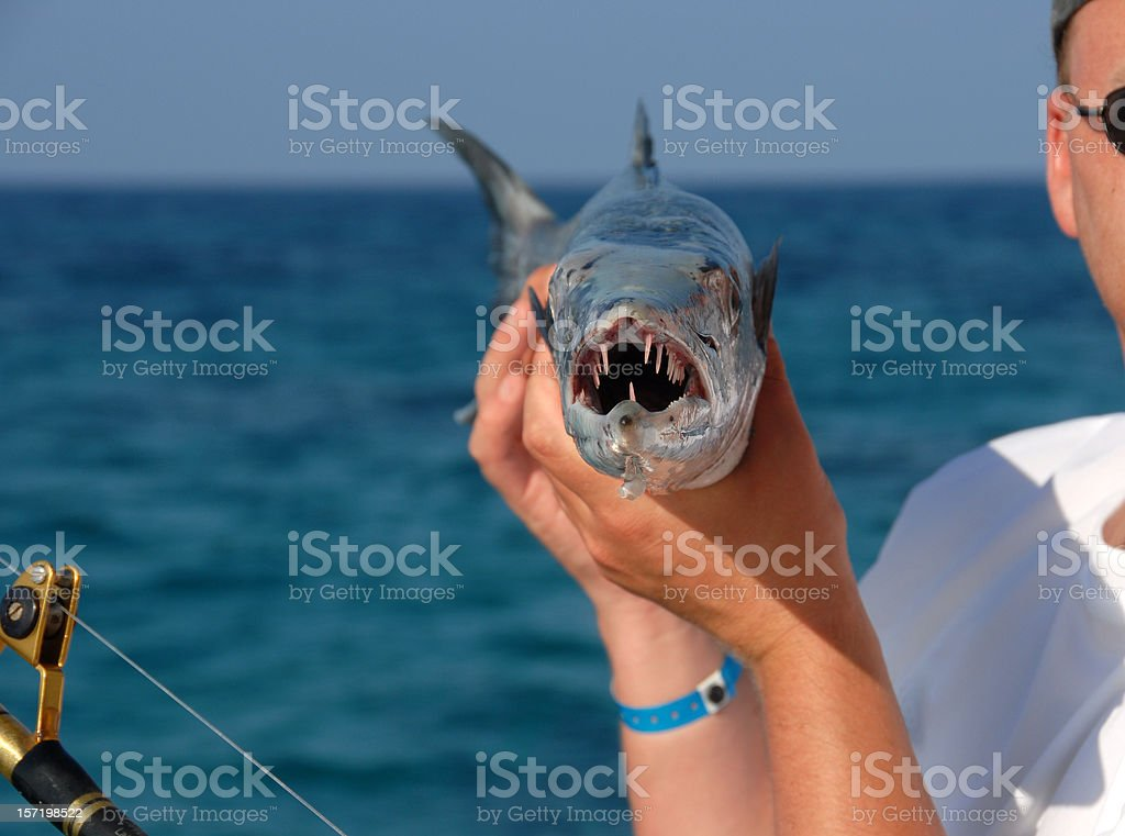 man with a barracuda stock photo