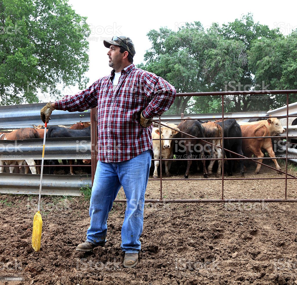 Man  with Cattle royalty-free stock photo