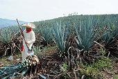 Man work in tequila industry