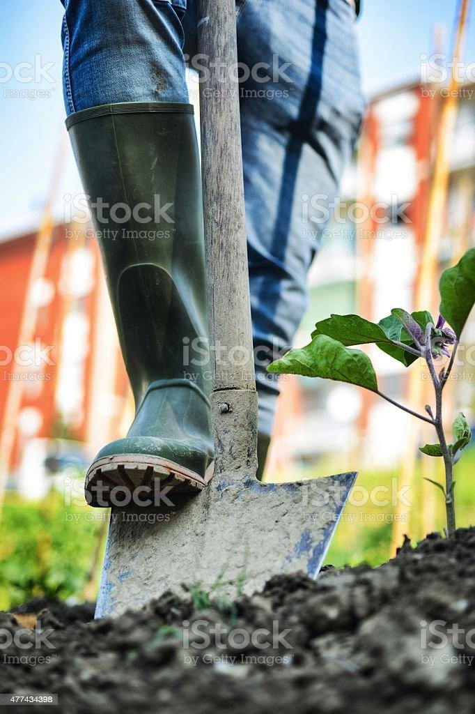 Man working in a Urban City Vegetables Garden stock photo