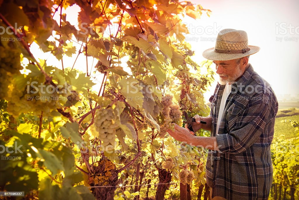 Man working in a vineyard stock photo