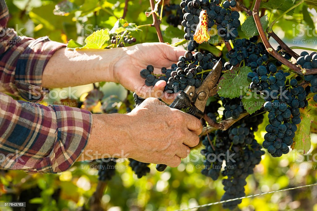 Man working in a vineyard stock photo