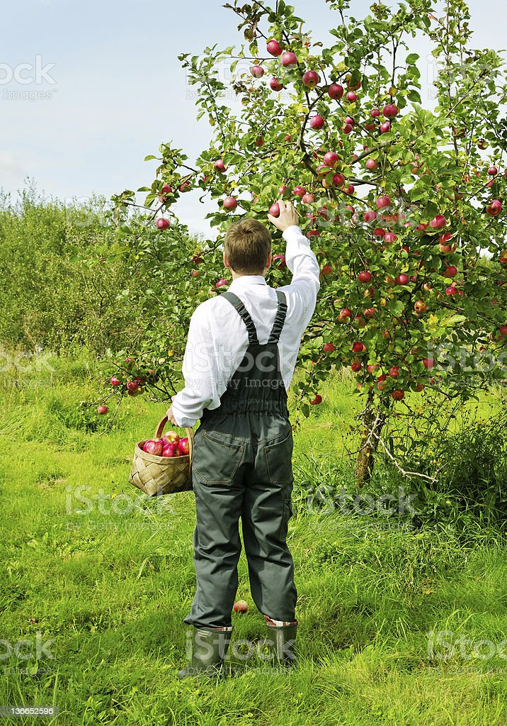 Man working in apple garden. royalty-free stock photo