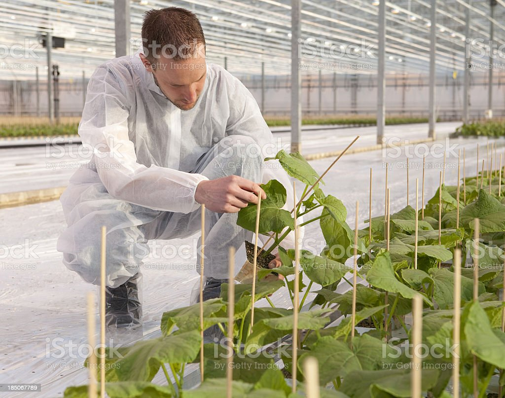Man working in glasshouse, horticulture royalty-free stock photo