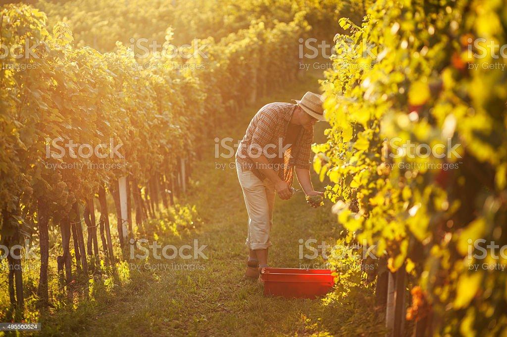 Man working in vineyard stock photo